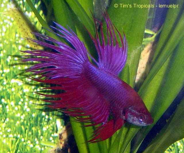 Male Crowntail Betta, Betta splendens